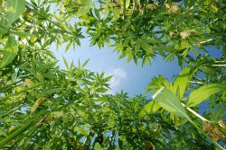8812369 - field of hemp. industrial kind of this plant is not a drug but a resource. it contains hardly any thc