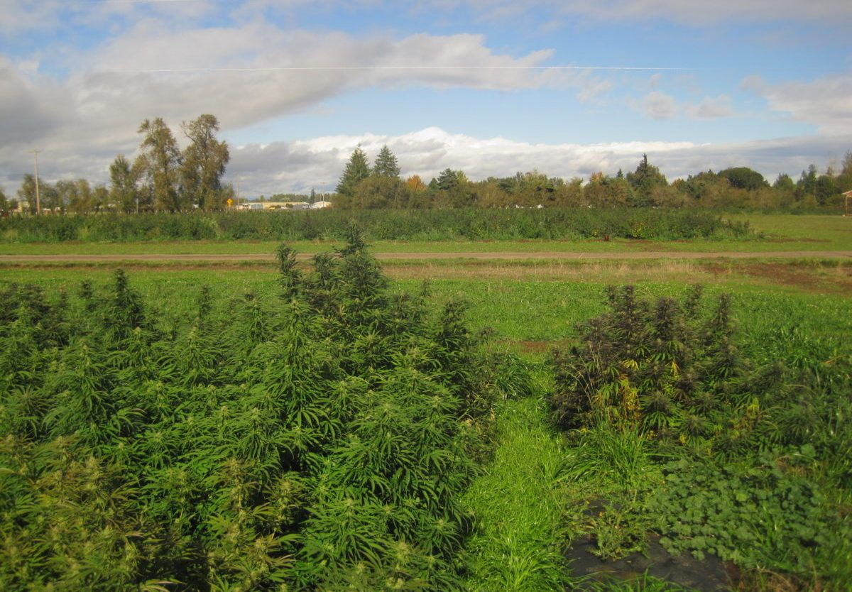 , Arizona hemp growers suffer losses due to crown and root rot