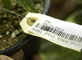 , Washington state cannabis businesses enter unknown territory with no official seed-to-sale system