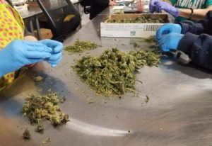 , Reporter's California Notebook: State's marijuana evolution continues