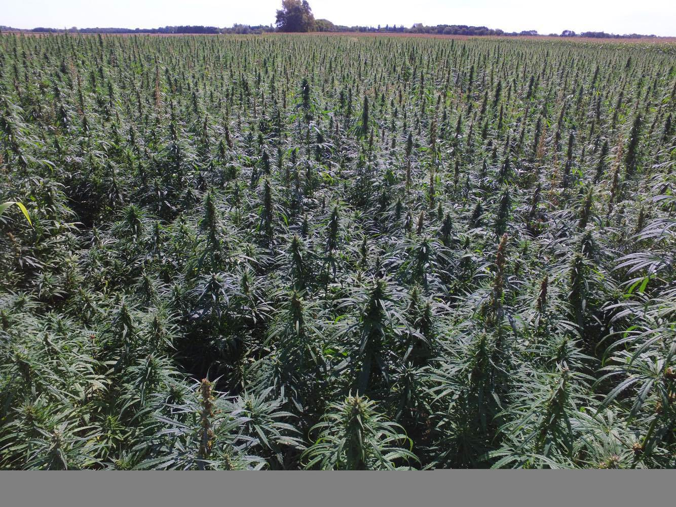 post-image-The Trump administration doesn't want to see hemp expanded nationwide in