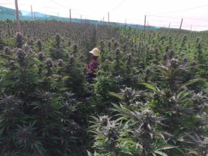 , In a first, Africa exports medical marijuana to Canada
