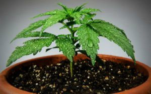 , Senators take aim at homegrown cannabis in Canadian legalization bill