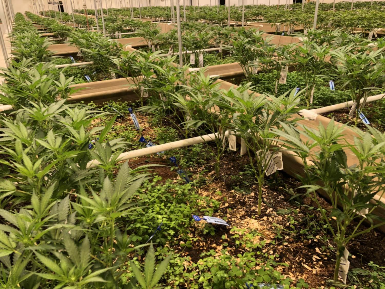 Some preventive medicine can save marijuana cultivators a lot of ...