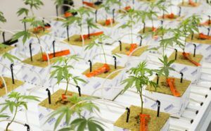 sustainable marijuana cultivation, Sustainable cultivation practices can boost a marijuana company's bottom line