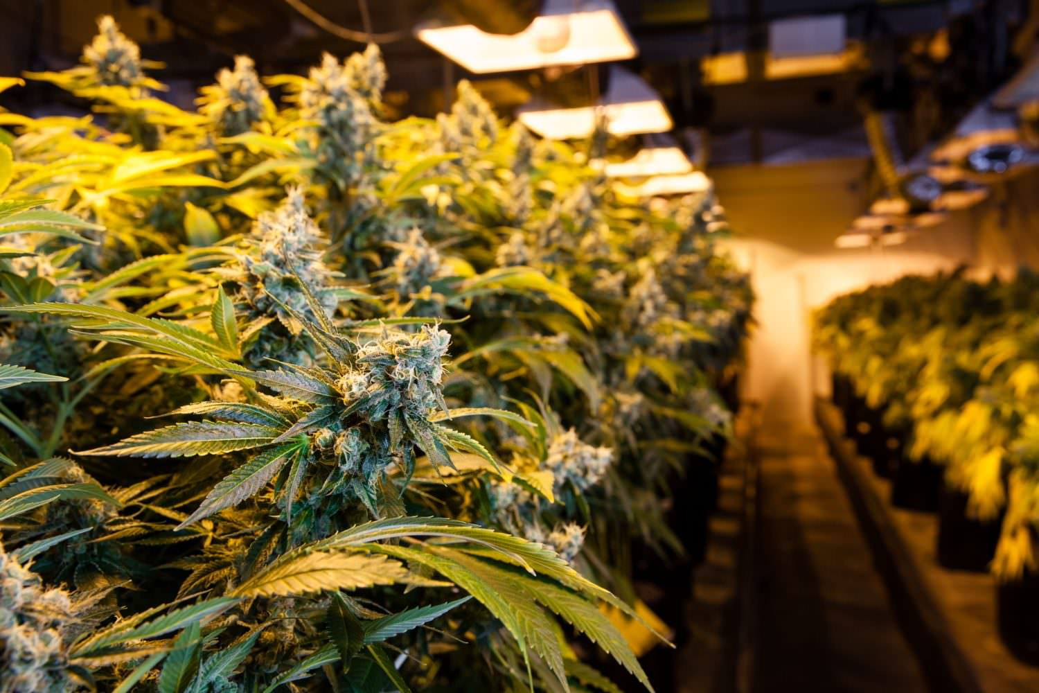 Canada cannabis cultivation, Licensed marijuana cultivation in Canada exceeds 10 million square feet