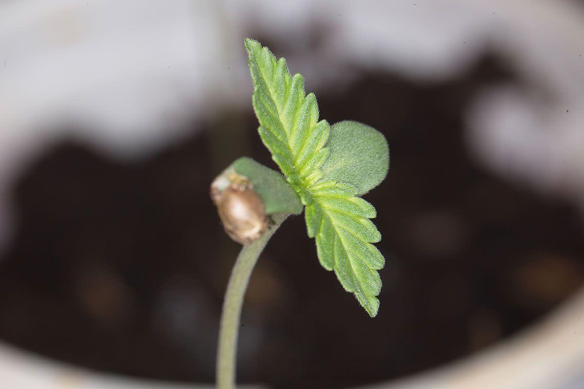 Canada home grown marijuana, 'Shortage' of marijuana seeds may delay legal Canadian home grows