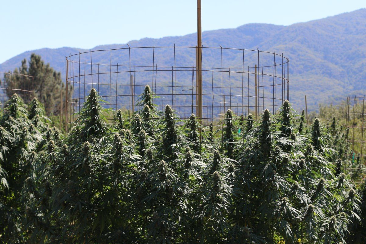 Growers: Western marijuana prices are down amid strong