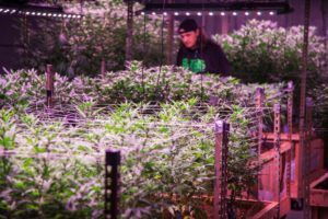legal marijuana markets, Deciding which inventory management, forecasting practices are best for your cannabis company