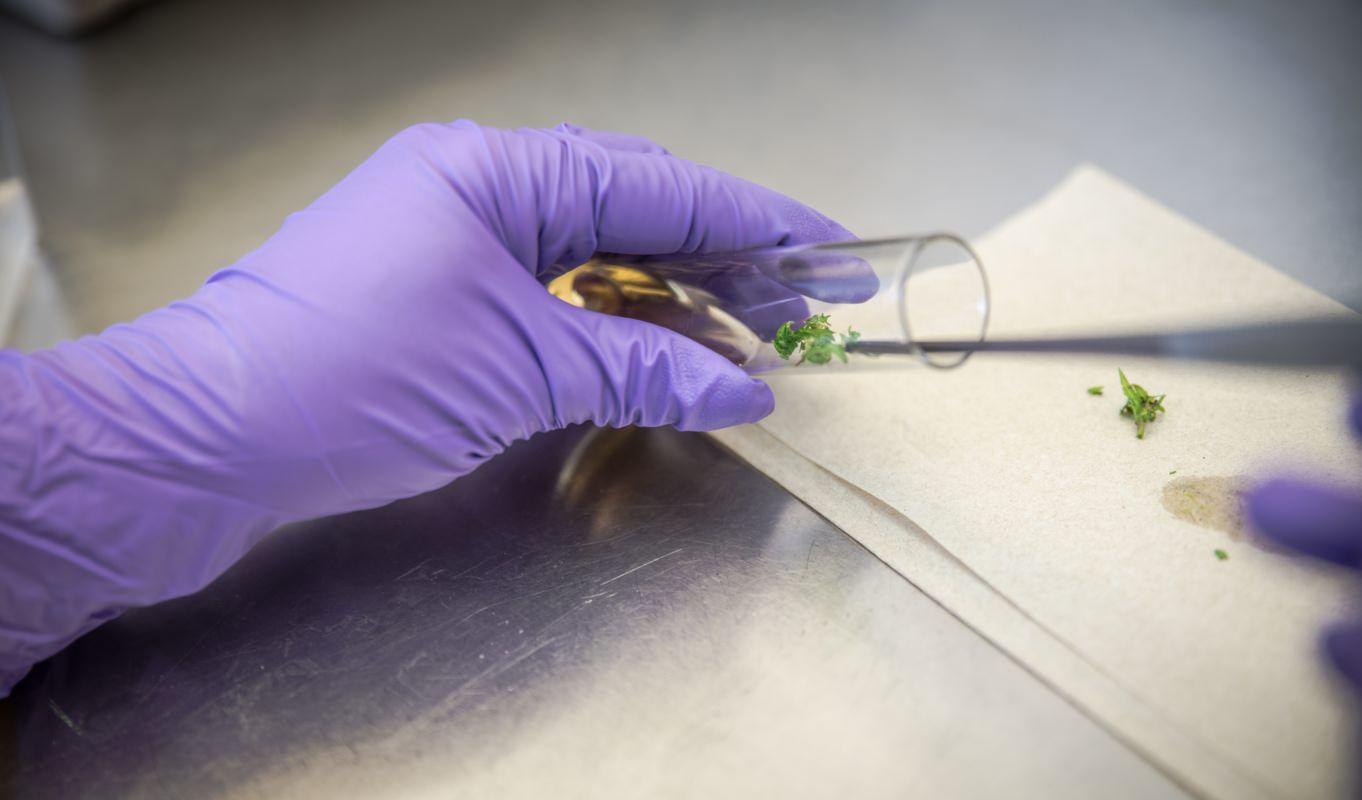 marijuana tissue culture, Marijuana growers find alternative to cloning – tissue culture