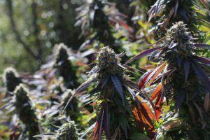 california marijuana licensing, Expiring licenses, not oversupply, is California's real 'crisis,' industry insiders say