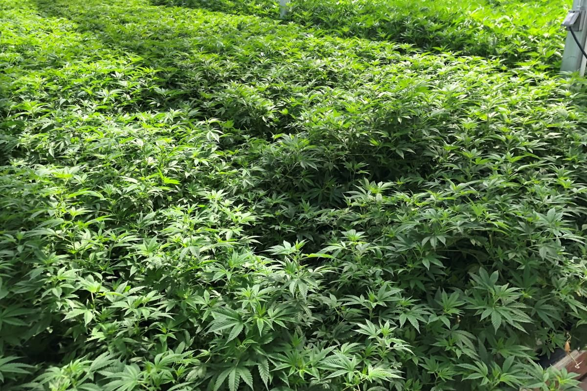 photo image Michigan medical cannabis cultivator Green Peak raises $30M-plus for expansion