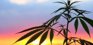 outdoor cannabis cultivation, Cannabis farmers in western states report large crop yields, only minor challenges
