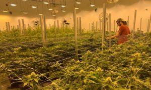 best marijuana grow lights, Illuminating the lighting situation in indoor marijuana grows