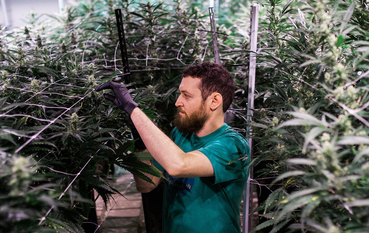 Cannabis plants don't have to fall prey to mold, powdery mildew