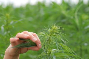 outdoor cannabis plant with cultivator