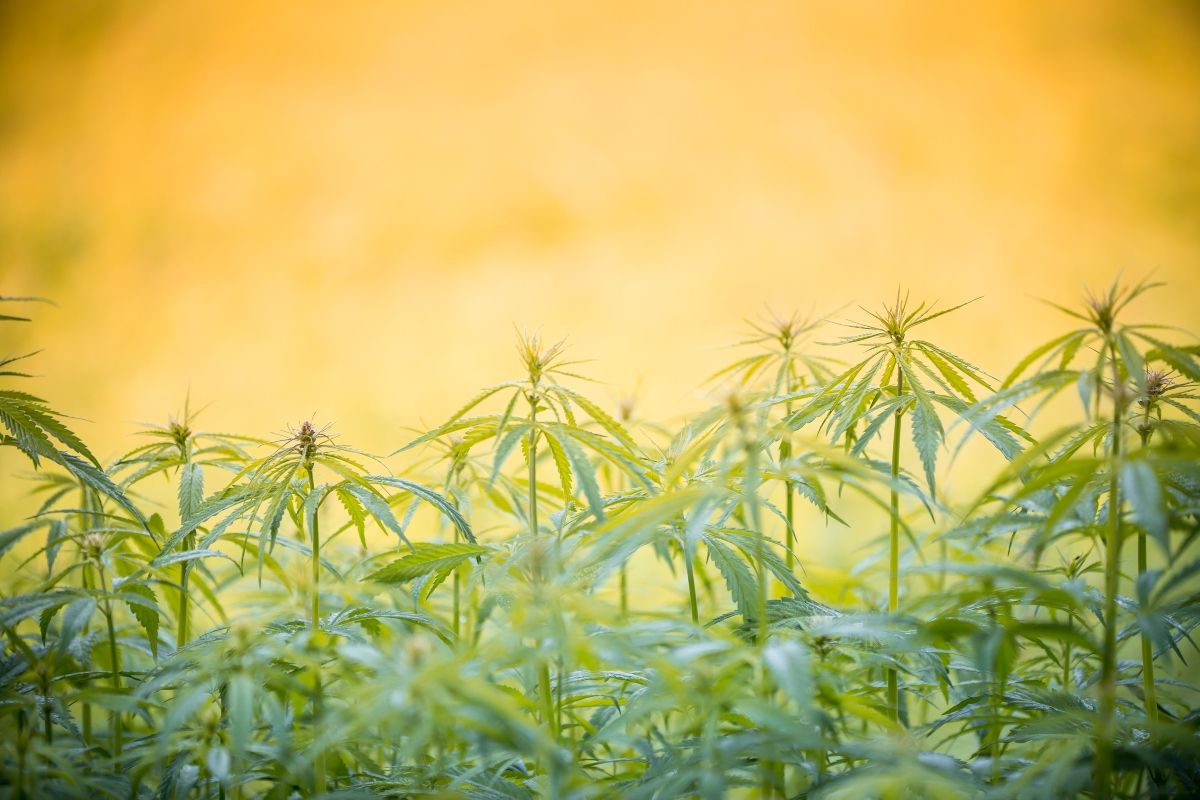 Phylos Bioscience   East Fork Cultivars   CBD dominant strains, How Phylos Bioscience sent shockwaves through the cannabis industry with 'Big Ag' disclosure