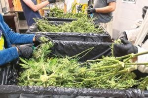cannabis cultivation, There are tricks to getting a cannabis crop safely to harvest