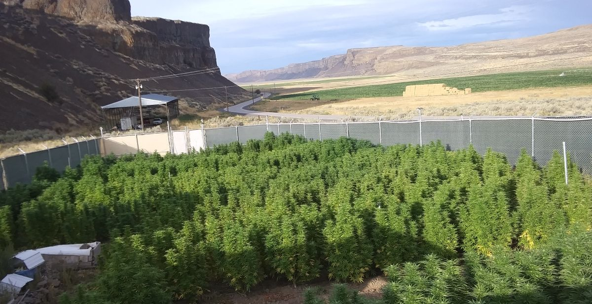 Cross-pollination could cost marijuana farmers several thousand dollars as hemp production expands nationwide