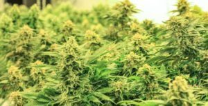 wholesale marijuana, Nevada wholesale marijuana flower prices dip as demand holds steady, labs scrutinized