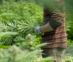 Outdoor cannabis cultivation, Approvals soar for outdoor cannabis cultivation in Canada, with 100-plus applicants in line