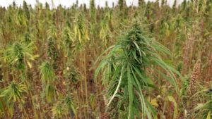 farm credit canada, Farm Credit Canada COVID-19 assistance available to cannabis sector – with a catch