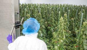 European cannabis market, Bedrocan CEO: European medical cannabis supply chain stable despite COVID-19 crisis