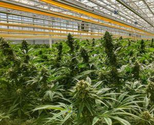 Aphria-Tilray merger, Aphria and Tilray to merge, creating CA$5 billion global cannabis giant