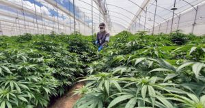 Colombia medical cannabis; dealing with COVID-19, How Colombian medical cannabis producers are adapting to the COVID-19 pandemic