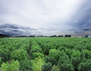 Image of a cannabis field