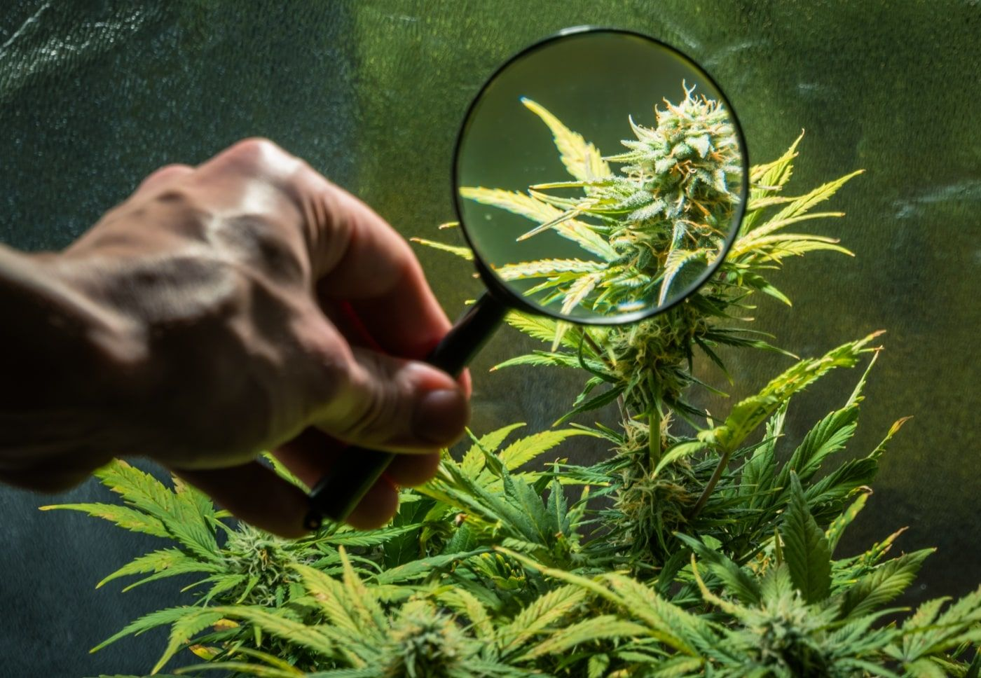 Michigan wholesale marijuana, Michigan wholesale medical marijuana prices fall on flood of caregiver product