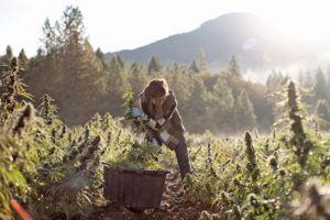 marijuana expansion, Oregon cannabis cultivation company leveraging partnerships, new retail presence to increase exposure, footprint