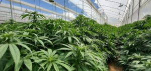 , Will Colombia's overhaul of cannabis industry rules resuscitate the promising sector?