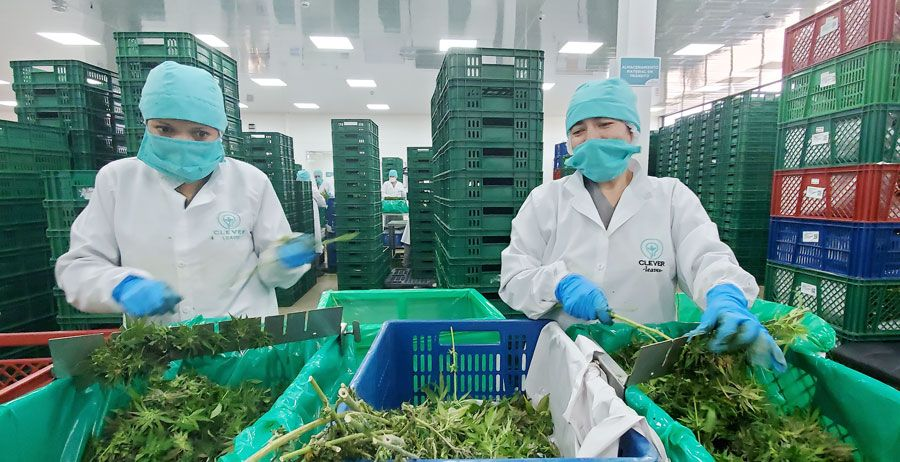 Clever Leaves claims first EU-GMP cannabis certification in Latin America