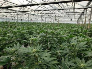 California marijuana ballot measures, Local ballot measures across California could significantly expand marijuana industry footprint