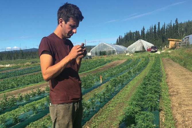 marijuana cultivation, Alaska grower relying on planning, lesser-known strain to cultivate cannabis in tough climate
