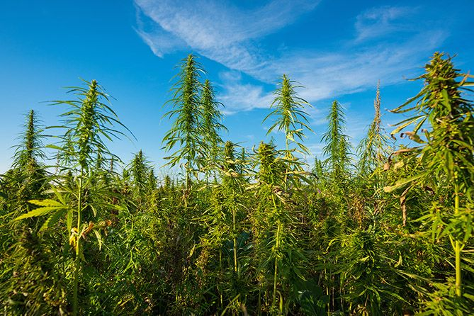 , Cannabis strain names don't mean much, give 'false sense of diversity'