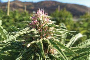 , Clean Cannabis