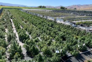 wildfires impact cannabis, Western wildfire smoke delays outdoor cannabis harvest, exposing climate impact