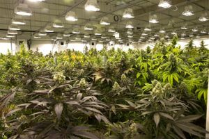 , Cultivation Business Strategies: Going for Growth
