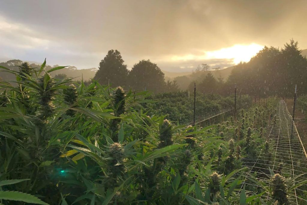 California outdoor marijuana cultivators to designate products by growing region