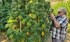 California craft marijuana, Regulatory maze, money prevent craft marijuana farmers in California from offering own brands