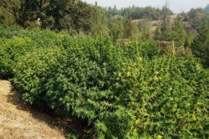 , Appellation program, cooperatives might give small California cannabis farmers a boost