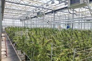 Indoor cannabis grow