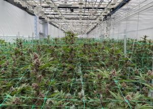 california cannabis cultivation rules, California cannabis growers seek cheaper mixed-light license fees, saying current cost too high