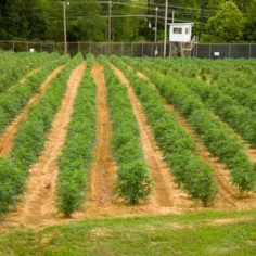 University of Mississippi marijuana research