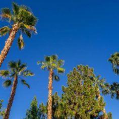 Image of California palm trees