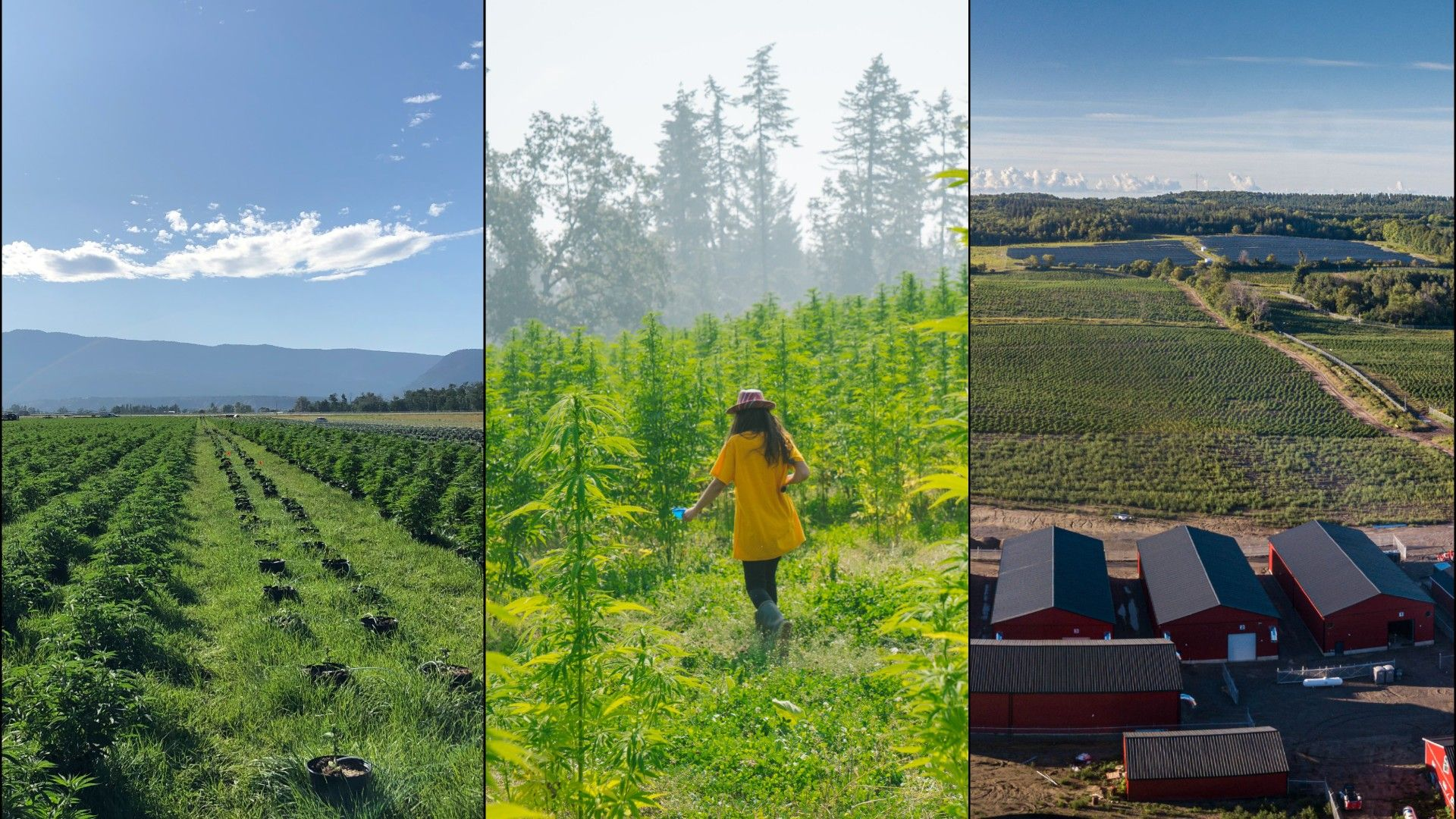 An image showing three outdoor cannabis cultivation sites in Canada.