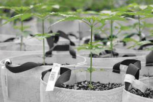 Big Pharma and cannabis, From Pfizer to PharmaCann: Bringing Big Pharma expertise to cannabis