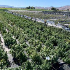 CannaSol Farms in Riverside, Washington